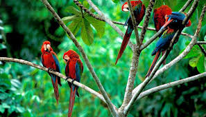 mcaw birds in jungle